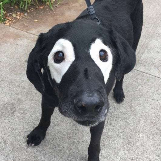 Labrador-With-Vitiligo-photoshop